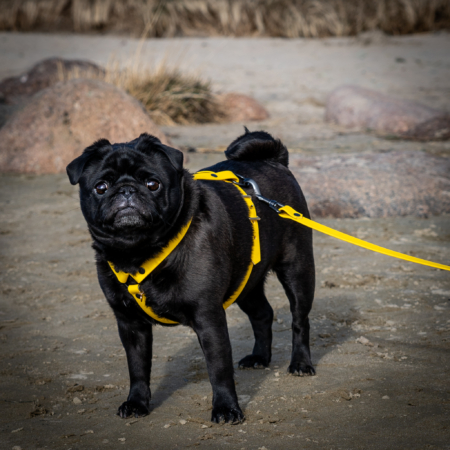 Pug biothane dog harness, waterproof dog harness set
